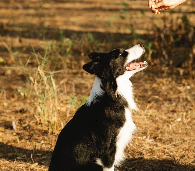 Tilgodese din hunds sundhed med kornfrit hundefoder